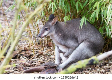 A Dusky Pademelon - a small kangeroo like marsupial from New Guinea sitting under a tree in at Chester Zoo in the UK