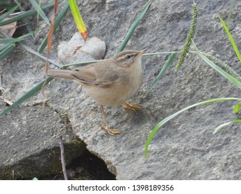 Dusky warbler, like other warblers,is olive-green in colour which serves as a camouflage.Mostly insectivorous,fruits and seeds are also on their menu.It is migratory and breeds in East-Asia.