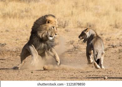 Dusty lion fight