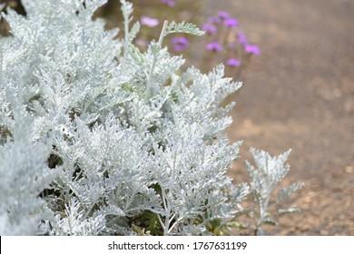 Dusty miller (Senecio cineraria) is an Ornamental foliage plant of Asteraceae perennial plant.