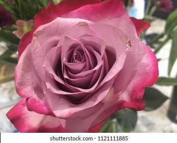 Dusty rose and bright pink colored rose
