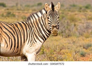 Dusty Zebra looking at camera