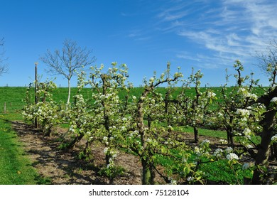 Dutch appel Orchard
