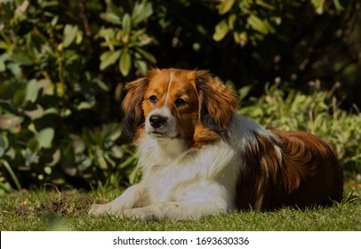 Dutch breed Kooiker dog is enjoying the sun