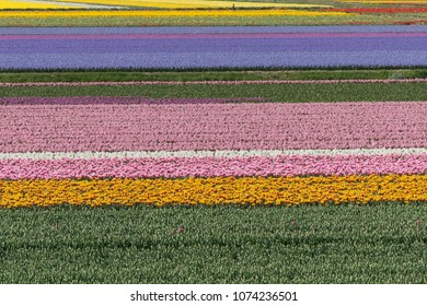 Dutch Bulb Flowerfield near Keukenhof gardens.