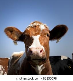 dutch cow with blue sky
