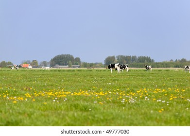 Dutch cows in grass meadows with typical houses at the horizon
