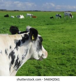 Dutch Cows in the meadows