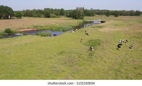 Dutch cows on a field - taken by drone - Junne Ommen