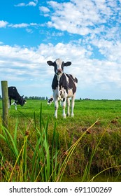 Dutch cows on grassland