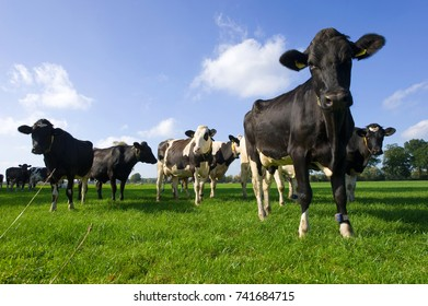 Dutch cows standing in a meadow