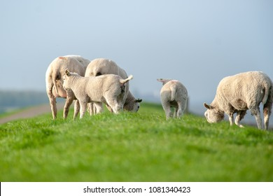 Dutch dike with green grass, a flock of sheep is eating the meadow bare. Nature maintenance of the Dutch delta by animals. Cheerful newly-planted lambs are sitting on their mother's bed in the spring