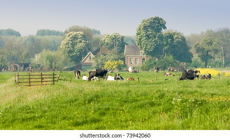 Dutch farm with cows and blooming trees on a sunny april morning