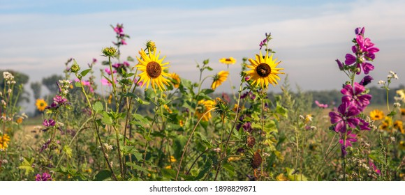 Dutch field edge with a variety of budding and flowering plants such as purple flowering high mallows and small yellow sunflowers sown to promote biodiversity. It is a sunny day in summertime now. - Shutterstock ID 1898829871