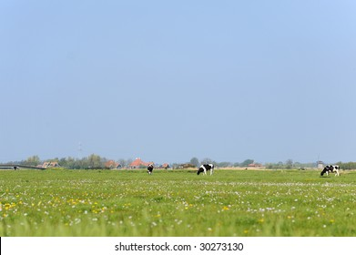 Dutch flat landscape with cows in the grass fields