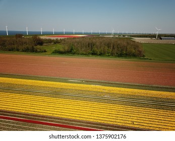 The dutch flowerfields are flowering beautiful and bright. The extreem colours of the bulbs makes this dutch scenic landscape one of a kind