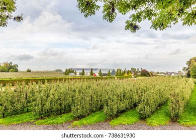 Dutch fruit farm building and fruit trees in the  Betuwe Netherland