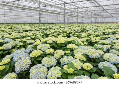 Dutch Greenhouse with cultivation of hydrangea