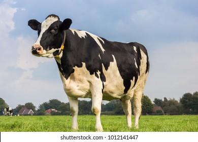 Niederländische Holstein-Schwarz-Weiß-Kuh auf der Wiese