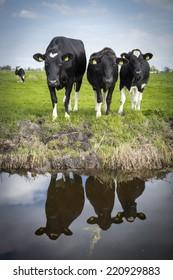 Dutch Holstein dairy cow grazing in field, the Netherlands