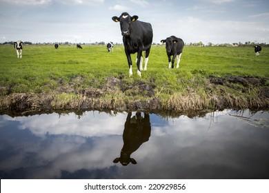 Dutch Holstein dairy cows grazing in field, the Netherlands