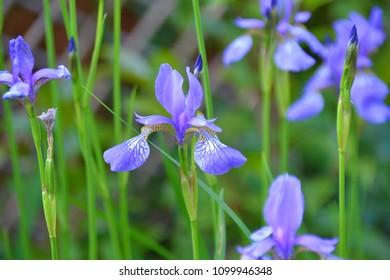 Dutch Iris also known as Gypsy beauty