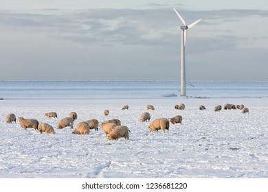 Dutch landscape with windturbine and sheep in snow covered meadow