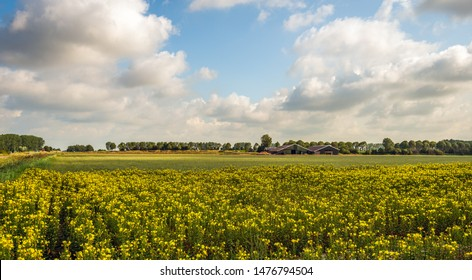 Dutch landscape with yellow flowering common evening-primrose or Oenothera biennis plants growing in the foreground and barns in the background. The photo was taken on the former Dutch island Tholen.