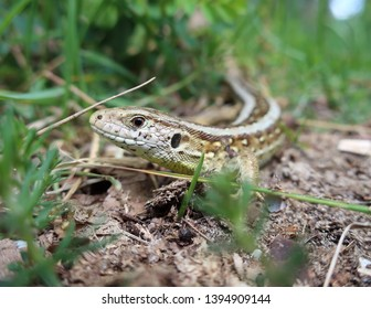 Dutch lizzard who lives in the dunes