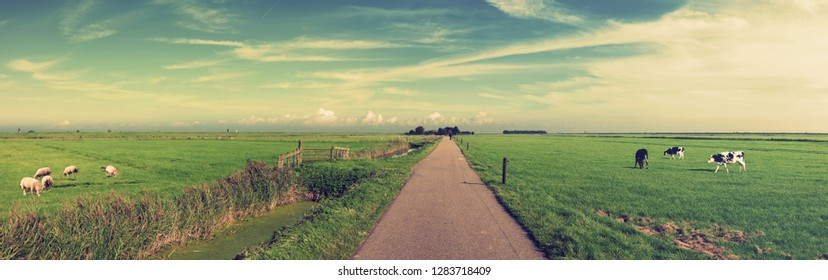 Dutch meadow panoramic landscape. Cobblestone road going through the pastures of green juicy grass. Dutch breed cows and sheep grazing. Netherlands. Remembering the Europe travel