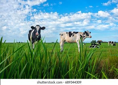 Dutch milk cows