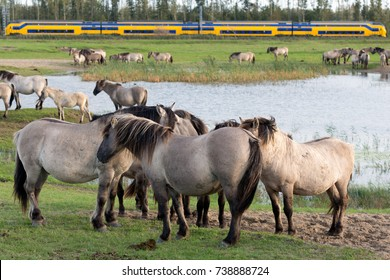 Dutch National Park Oostvaardersplassen with herd of Konik horses. A train is passing at the background.