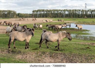 Dutch National Park Oostvaardersplassen with herd of Konik horses near a pool of water