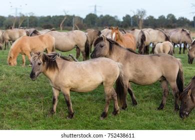Dutch National Park Oostvaardersplassen with herd of Konik horses. In this new wilderness lives about 1000 wild horses.