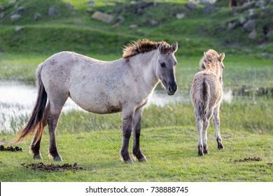 Dutch National Park Oostvaardersplassen with konik horse and foal near a pool of water