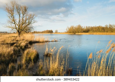 Dutch nature reserve with a large tree with bare branches and yellow reeds along the waterfront. A group of coots is swimming in the water.