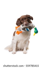 Dutch partrige dog, Drentse patrijs hond, in front of a white background white a training duck dummy holding in mouth