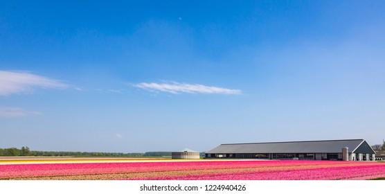Dutch pink tulips in a flower field in Holland under a sunny blue sky