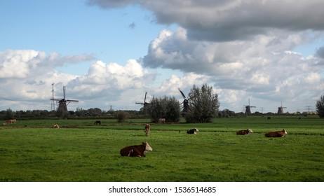 Dutch polder with cows; windmills of Unesco World Heritage SIte Kinderdijk in background