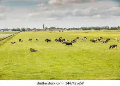 Dutch polder landscape with in the foreground dairy cows in pasture and in the background the skyline of the village Langeraar with houses and striking the tower of the Roman Heilige Adrianuskerk
