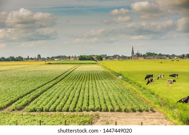 Dutch polder landscape with in the foreground dairy cows and potato fields in the background the skyline of the village Langeraar with houses and striking the tower of the Heilige Adrianuskerk