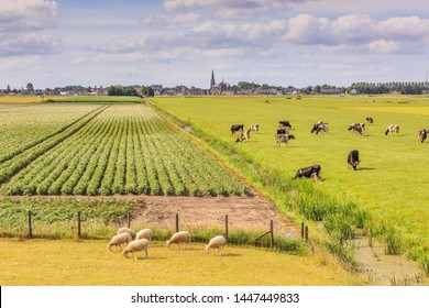 Dutch polder landscape with in the foreground dairy cows, sheep and potato fields in the background the skyline of the village Langeraar with houses and striking the tower of the Heilige Adrianuskerk