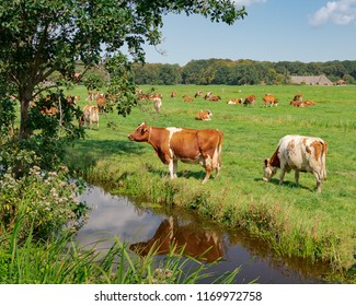 Dutch rural scenery with a herd of Meuse Rhine Yssel cows grazing along a canal