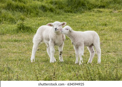 Dutch sheep lambs young animals during Spring season on the dike meadows Netherlands ,Flock of sheep grazing in a hill