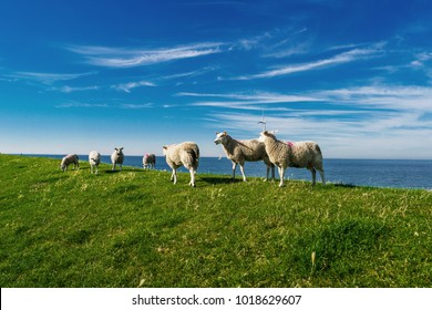 dutch sheeps on the dike, Lambs and Sheep on the dutch dike by the lake IJsselmeer,Spring views , Netherlands