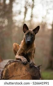 Dutch shepherd in the wood