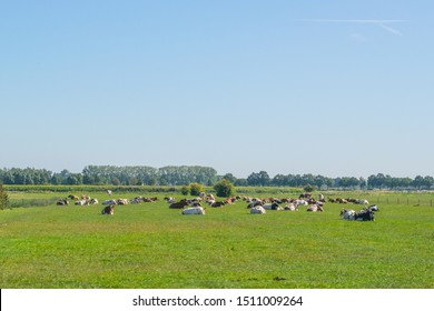 Dutch summery polder landscape with cows lying in the grass