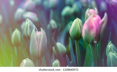 Dutch tulip bloom in an orangery in spring season. Buds of rose tulips with fresh green leaves with place for your text. Floral background for a floristry shop.