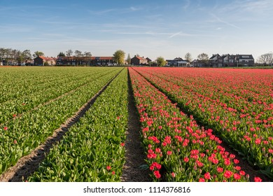 Dutch tulip field, town Lisse,the Netherlands