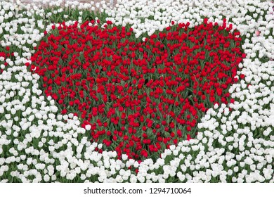Dutch tulip garden with red tulips in the shape of a heart surrounded by white tulips